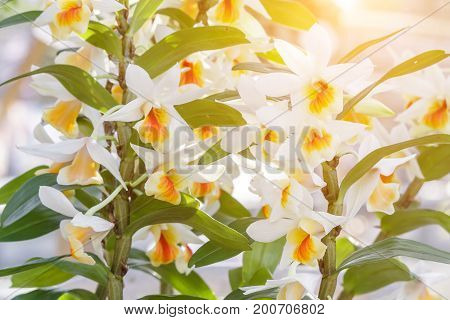 Orchid flower in the garden at winter or spring day for postcard beauty agriculture idea concept design. Dendrobium orchid is a genus in the orchid family (Orchidaceae)