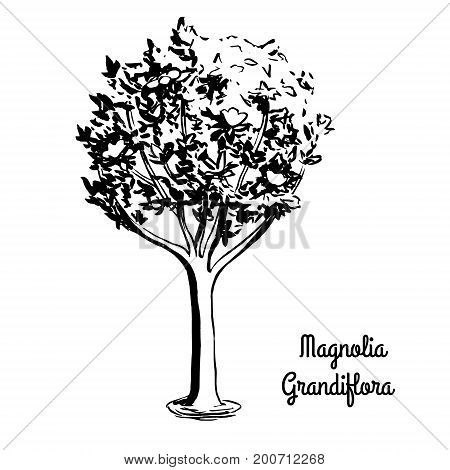 Vector sketch illustration of Southern Magnolia Grandiflora. Black silhouette of Bull Bay isolated on white background. Official state tree of Mississippi.