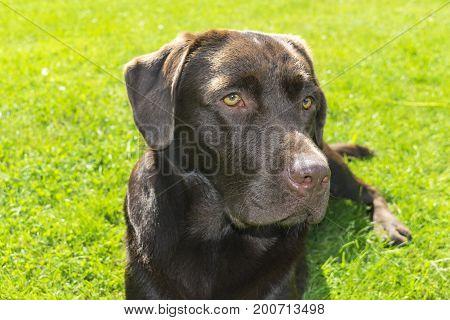 Brown Chocolate Labrador retriever. Dog on the green grass. Dog nose