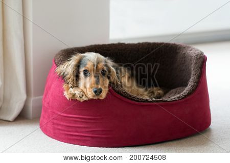 Eight-month-old English Show Cocker Spaniel puppy lying in dog bed with head and paws over side. Looking straight at camera.