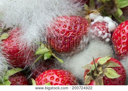 Rotting, over-ripe red strawberries with fungus growing