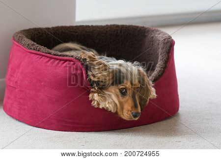 Eight-month-old English Show Cocker Spaniel puppy lying in dog bed with head and paws over side. Looking sideways at camera.