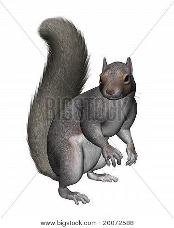Grey Squirrel -