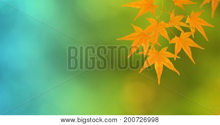 Beautiful Japanese maple leafs in orange with green background, in autumn.