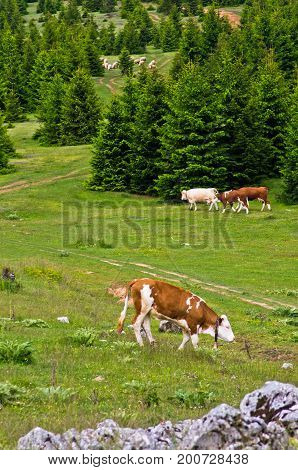 Cows and sheeps on a mountain meadow at summer, mount Beljanica, Serbia