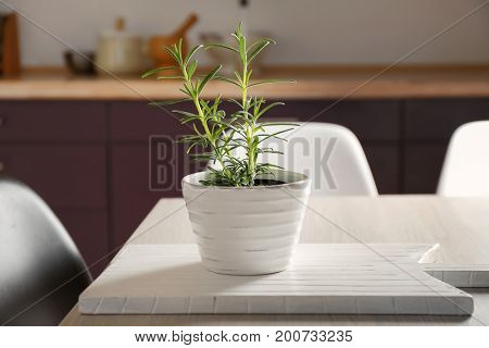Green rosemary in pot on table