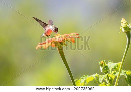 Ruby-throated Hummingbird (archilochus colubris) enjoys orange Tithonia flower