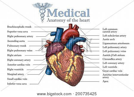 Anatomical Human heart hand drawn poster with inscription of vein arteria aorta. Medicine educational Vector illustration. Colorful Body organ high detailed. Medical study info graphic banner