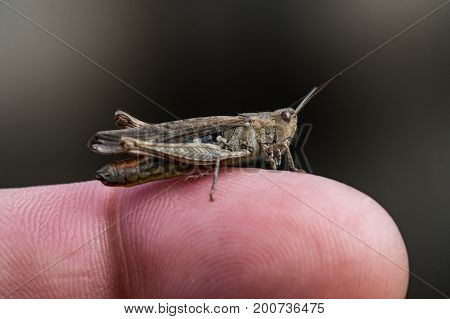 Grasshopper sitting on a finger nice macro with a lot of details.