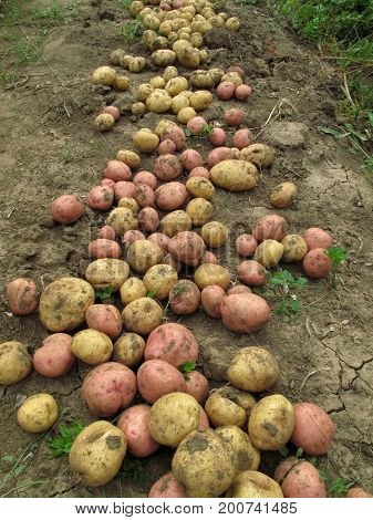 Close up of fresh organic potatoes on the ground