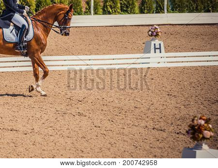 Dressage horse and rider. Brown chestnut horse portrait during dressage competition. Advanced dressage test. Copy space for your text.