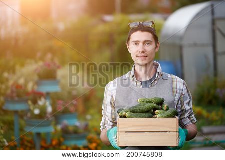 Farmer in gloves with box of cucumbers in garden at afternoon , Sunlight effect