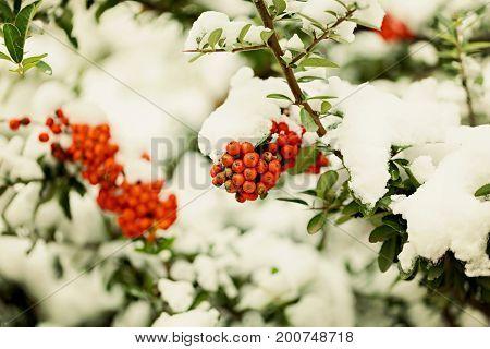 Rowan branch under snow in the winter. Selective focus.