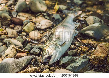 Fish Killed With A Gun. Fishermen Poachers Concept