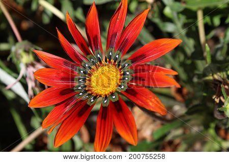 Beautiful Gazania Flower In A Blooming Garden