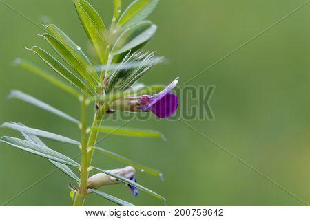 Flower of a common vetch (Vicia sativa)