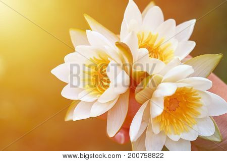 girl holding a bunch of water lilies. The concept of beauty and purity of nature. three white water lilies with yellow world-renowned place.