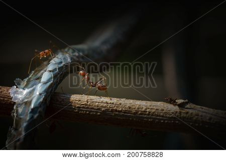 Low key image of meat-eater ant and snake carrion on branch