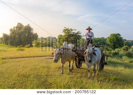 Bagan, Maynmar - October 12, 2016: Unidentified burmese farmer driving an oxcart during sunrise in Bagan, Myanmar.