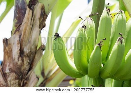 Close up green Raw Bananas. Young green banana on tree. Unripe bananas close up.
