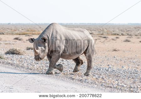 A black rhinoceros Diceros bicornis walking accross a road in Northern Namiba