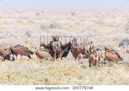 Lappet-faced vultures also called Nubian vultures (Torgos tracheliotos) on the ground in Northern Namibia