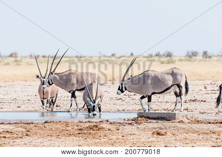 An oryx Oryx gazella drinking water at a waterhole in Northern Namibia