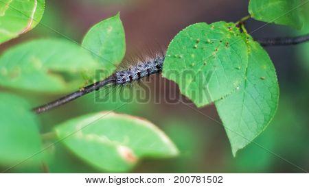 Close-up Of A Gypsy Moth, Or Lymantria Dispar Dispar, Caterpillar On A Stem Under Green Leaves In Th