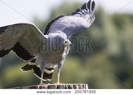African harrier hawk (Polyboroides typus) bird of prey standing with wings outstretched.