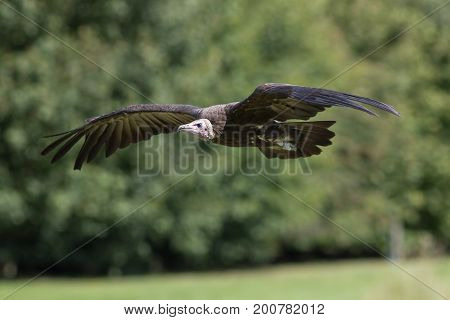 Hooded vulture (Necrosyrtes monachus) flying. Scavenger bird in flight. African wildlife image with copy space.