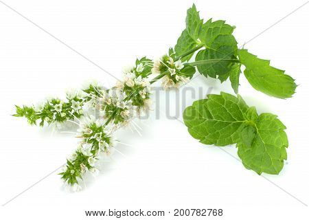 Mint leaf green plants isolated on white background, peppermint aromatic properties of strong teeth