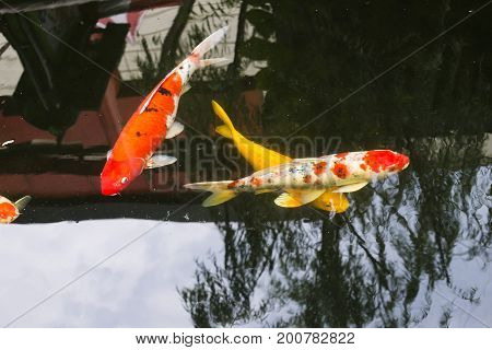 Beautiful fancy carp fish are swimming in the pond