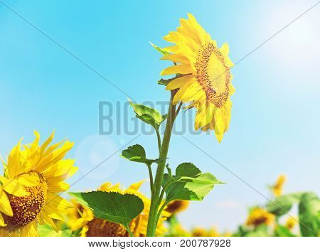Blooming yellow sunflower in the rays of a bright sun against the sky