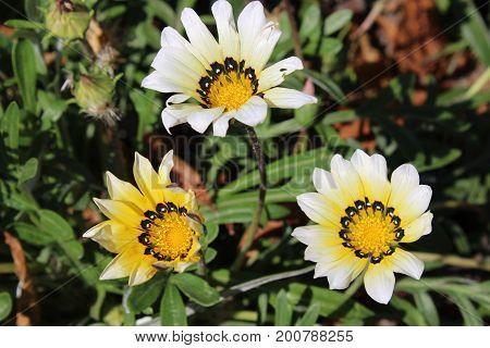 Beautiful Gazania Flower