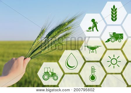 Woman holding wheat spikelets in field, closeup. Concept of smart agriculture and modern technology