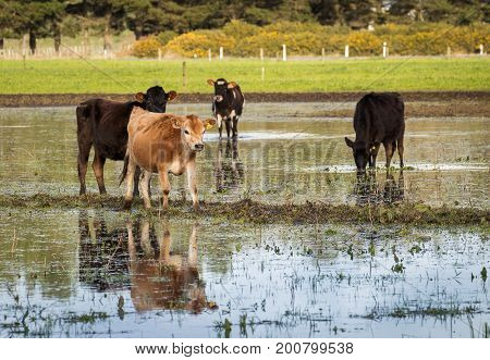 Some jersey heifers in a flooded paddock.