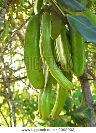 A bunch of carob fruit hanging from the tree. poster