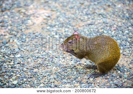 Agouti rodent or rat animal with reddish hair sitting and holding food in fore paws on grey stones in Honduras on natural background. Wildlife and nature concept