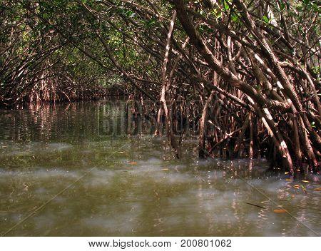 Light filters through the mangroves near Cocoa Beach Florida
