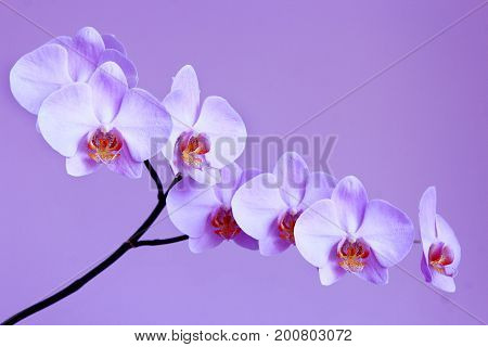 branch of light lilac orchid on the lilac background