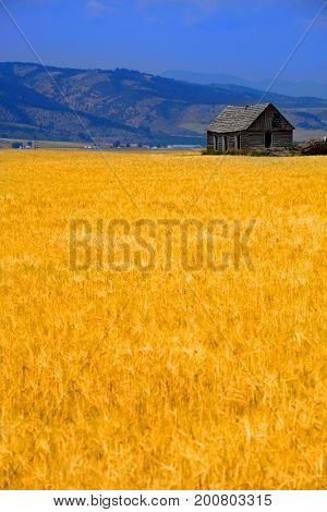 Cabin old homestead on farmground with field of grain