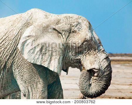 Profile portrait of an old african elephant, Etosha National Park, Namibia, Africa.