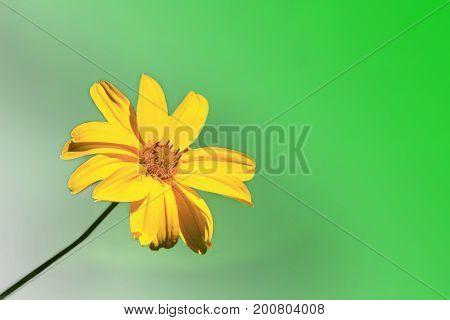 beautiful yellow chamomile on the greenish background