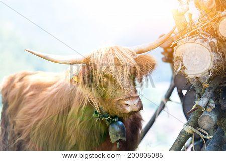 Highlander Scottish cow grazing in summer time