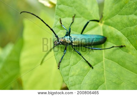 Big green beetle on green foliage in a forest.