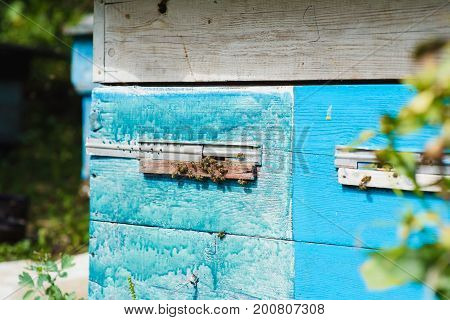Bees at front hive entrance close up. Bee flying to hive. Honey bee drone enter the hive.