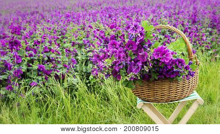 basket with purple mallow in front of flowerfield