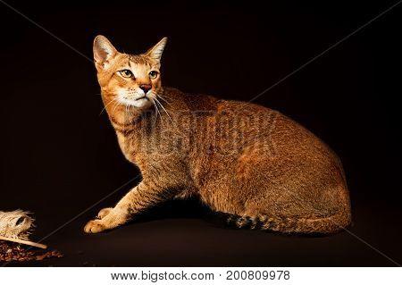 Chausie, abyssinian cat on dark brown background.