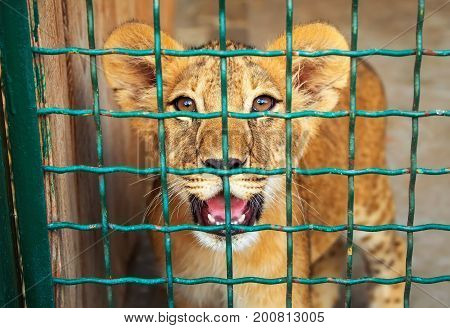 Small lion in the cage. The majestic king of beasts. poster