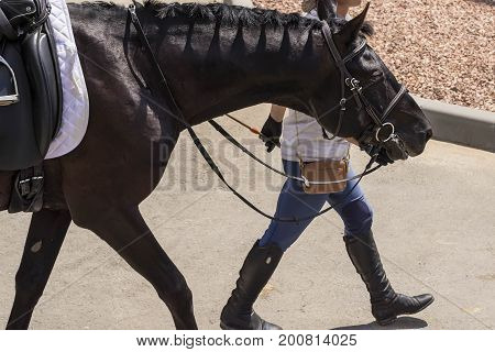 Portrait of a thoroughbred horse on  background. Dressage with beautiful horse closeup, equestrian sport. Side view head shot of a beautiful black stallion.
